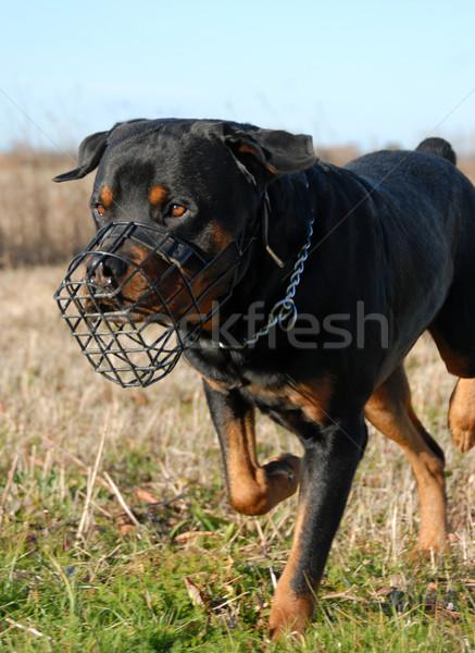 Rottweiler torkolat fajtiszta mező fut fekete Stock fotó © cynoclub
