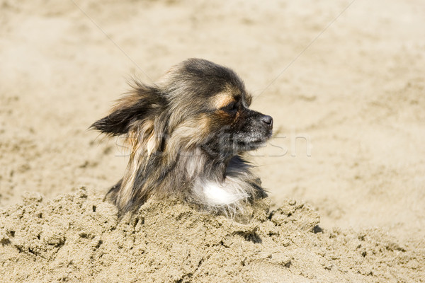 chihuahua in the sand Stock photo © cynoclub