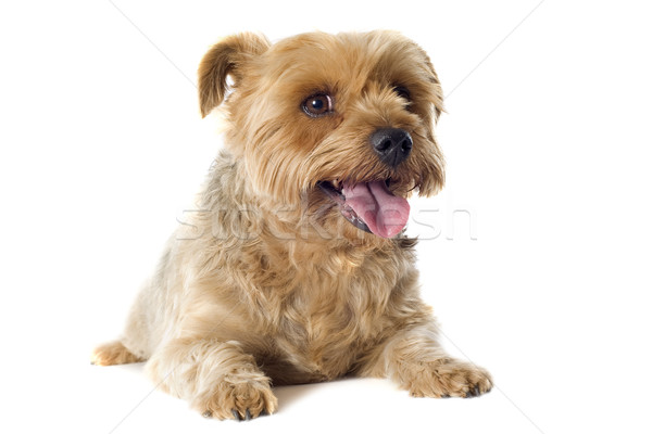 Stock photo: yorkshire terrier sheared