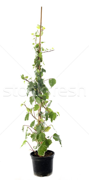 Hedera helix Stock photo © cynoclub