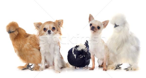 bantam chicken and chihuahuas Stock photo © cynoclub