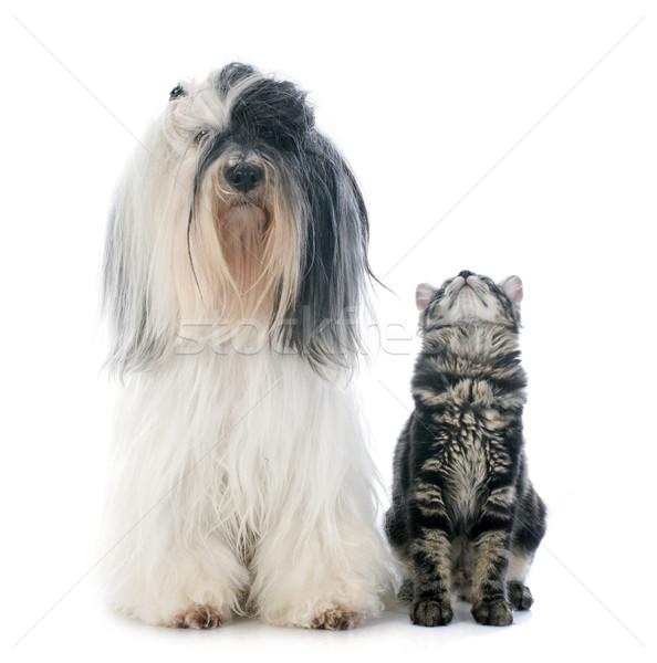 tibetan terrier and kitten Stock photo © cynoclub