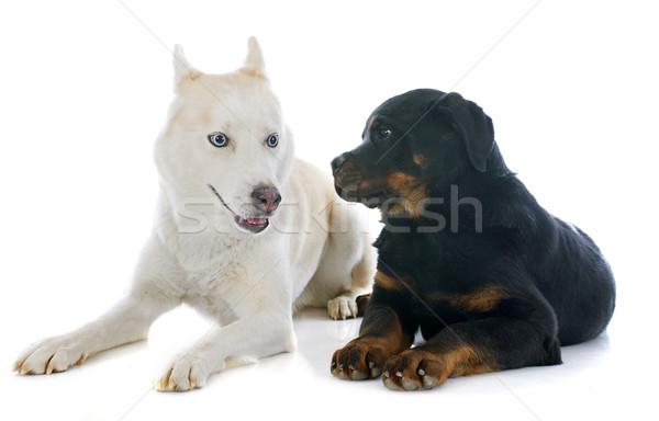 siberian husky and rottweiler Stock photo © cynoclub