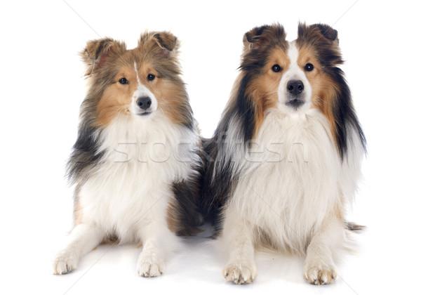 shetland dogs Stock photo © cynoclub