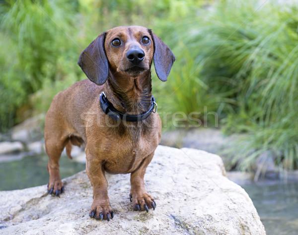Bassê rocha rio água cão natureza Foto stock © cynoclub