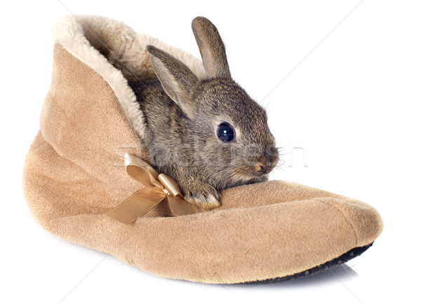 European rabbit in shoes Stock photo © cynoclub