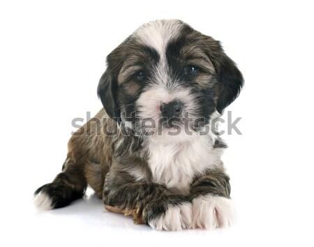 puppy tibetan terrier Stock photo © cynoclub