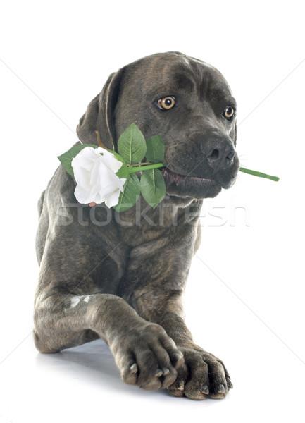 イタリア語 マスチフ 花 白 犬 バラ ストックフォト © cynoclub