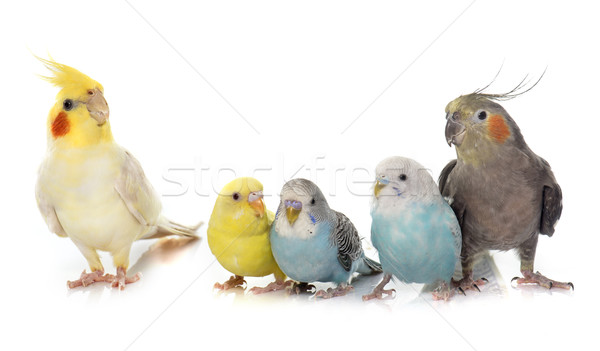 common pet parakeet and Cockatiel Stock photo © cynoclub