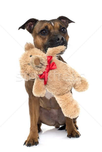 stafforshire bull terrier and teddy Stock photo © cynoclub