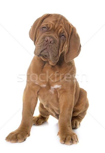 puppy Dogue de Bordeaux Stock photo © cynoclub