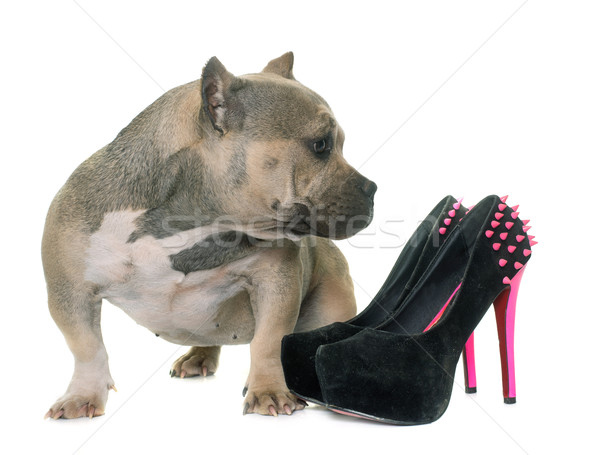 puppy american bully and platform shoes Stock photo © cynoclub