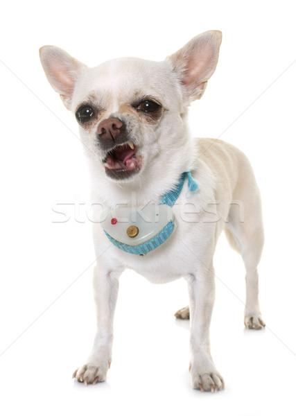 Schok witte hond tanden puppy huisdier Stockfoto © cynoclub