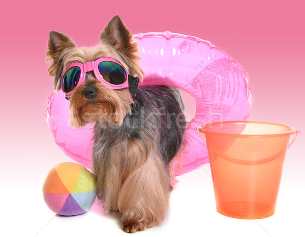 yorkshire terrier in holidays Stock photo © cynoclub