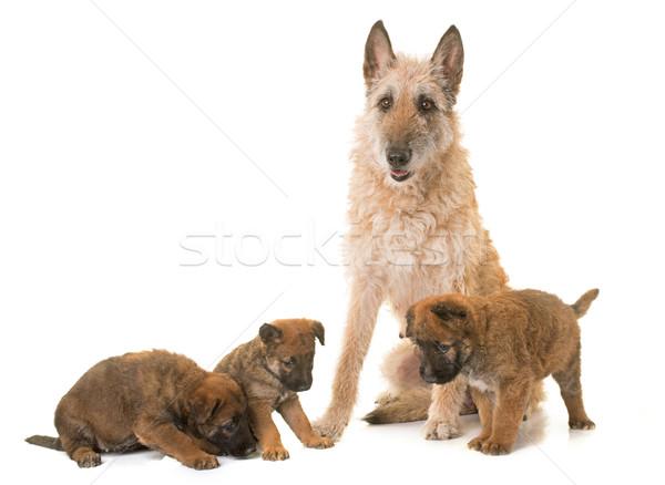 Kutyakölyök felnőtt belga juhászkutya kutya anya fiatal Stock fotó © cynoclub