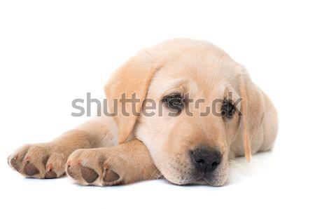 Stockfoto: Puppy · labrador · retriever · witte · hond · jonge · ziek