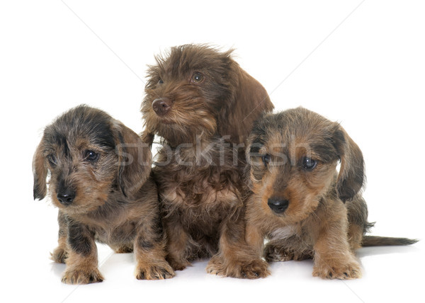 Stock photo: puppies Wire haired dachshund