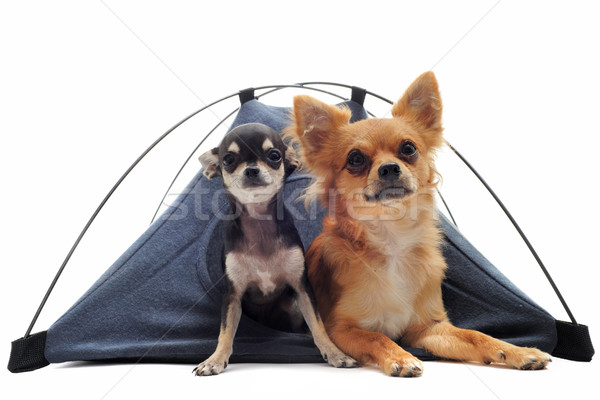 Chiot adulte tente portrait cute Photo stock © cynoclub
