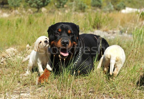 Rottweiler kiskutyák labrador fajtiszta lefelé mező Stock fotó © cynoclub