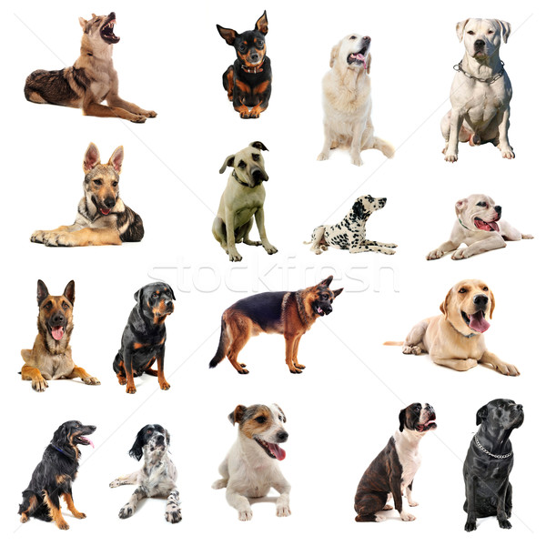 dogs Stock photo © cynoclub