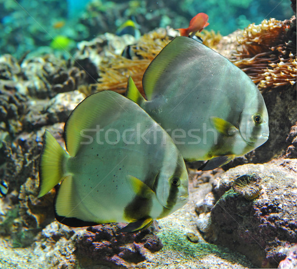 platax orbicularis Stock photo © cynoclub
