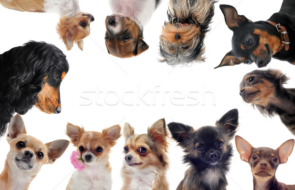 group of little dogs Stock photo © cynoclub