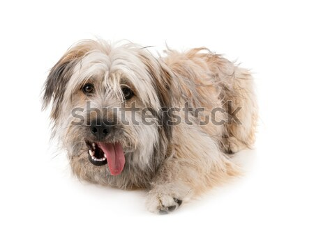 овчарка портрет белый собака студию ПЭТ Сток-фото © cynoclub