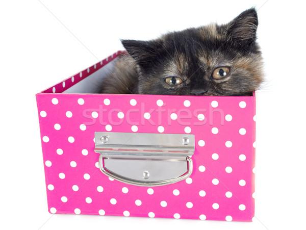 Stockfoto: Exotisch · korthaar · kitten · witte · kat · vak