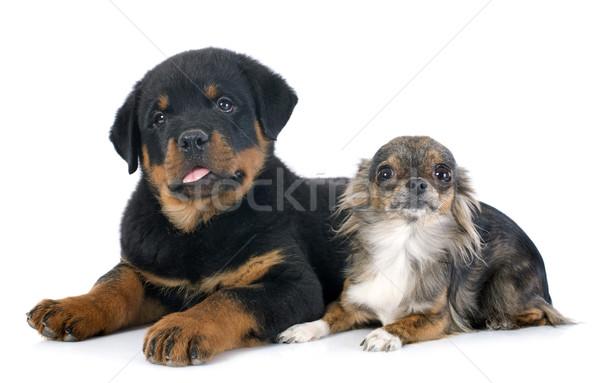 Puppy rottweiler portret zwarte jonge vriendschap Stockfoto © cynoclub