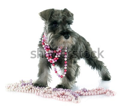 puppy yorkshire terrier Stock photo © cynoclub