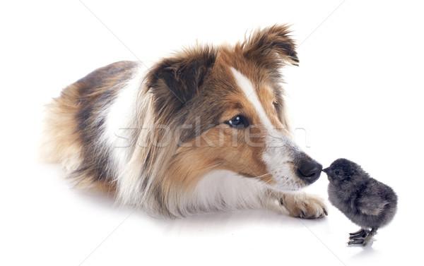 shetland dog and chick Stock photo © cynoclub