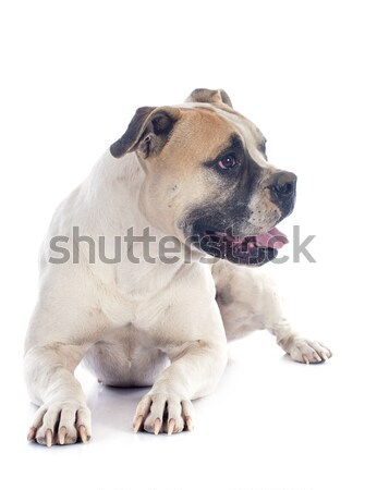 young pug Stock photo © cynoclub