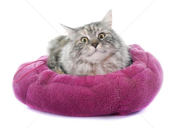 Maine kat witte leuk bed vrouwelijke Stockfoto © cynoclub