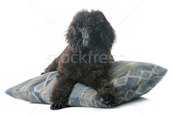 щенков пудель черный белый собака животного Сток-фото © cynoclub