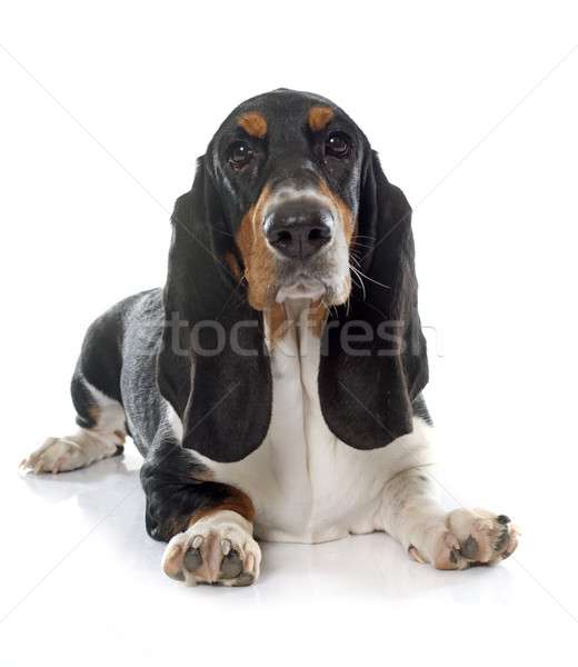 young Basset Hound Stock photo © cynoclub