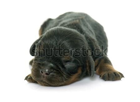 newborn cavalier king charles Stock photo © cynoclub