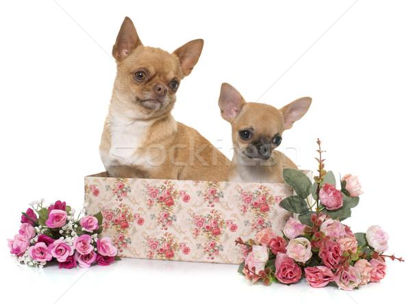 成人 子犬 ショートヘア 花 犬 バラ ストックフォト © cynoclub