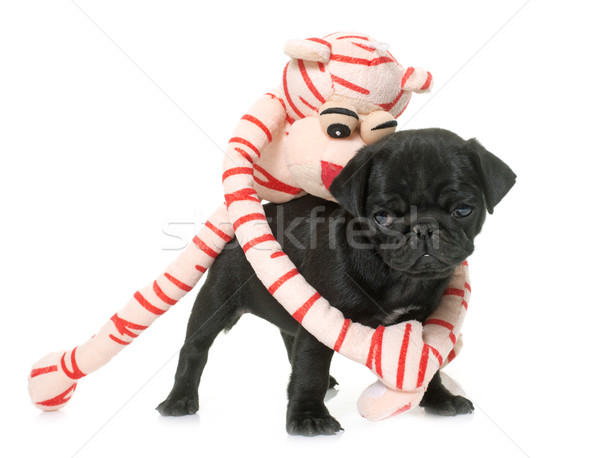 puppy black pug and toy Stock photo © cynoclub
