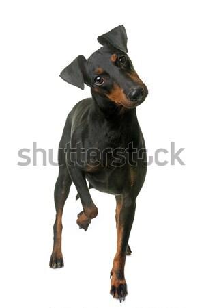 Női terrier fehér kutya Stock fotó © cynoclub