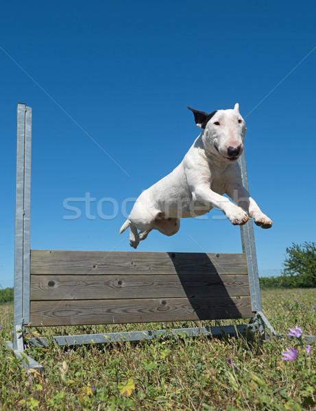 Képzés engedelmesség ugrik kutyakiképzés mező állat Stock fotó © cynoclub