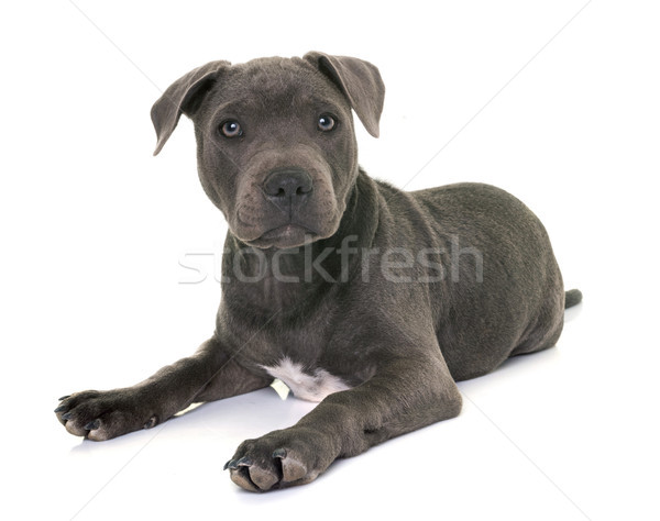 puppy staffordshire bull terrier Stock photo © cynoclub