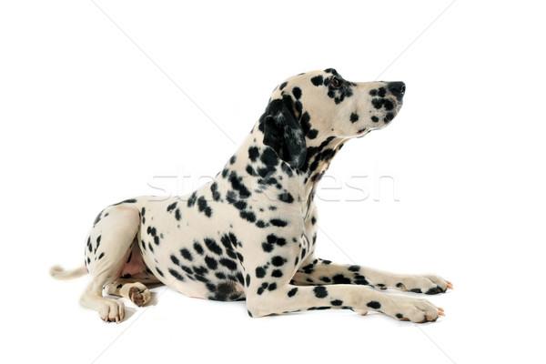Dalmatyński portret w dół biały smutne Zdjęcia stock © cynoclub