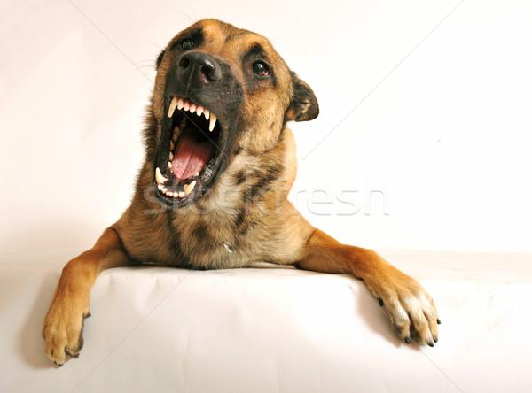 агрессивный собака портрет сердиться Сток-фото © cynoclub