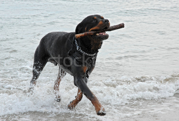 rottweiler playing in the sea Stock photo © cynoclub