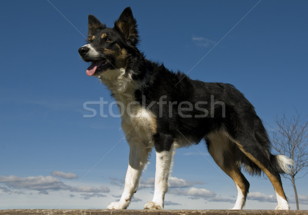 Border collie portret tricolor psa niebieski Zdjęcia stock © cynoclub