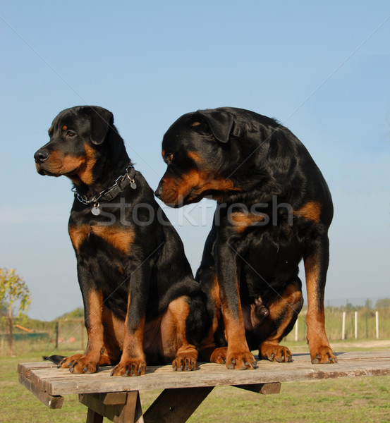 two rottweilers: puppy and adult Stock photo © cynoclub