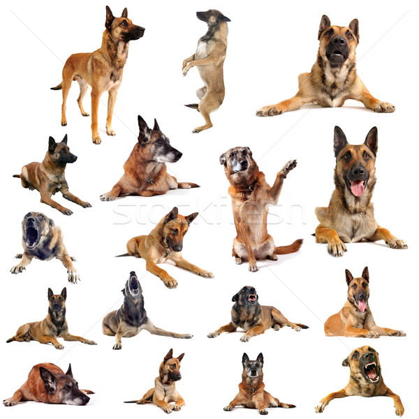 malinois Stock photo © cynoclub