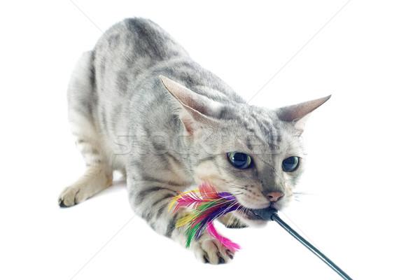 playing bengal cat Stock photo © cynoclub