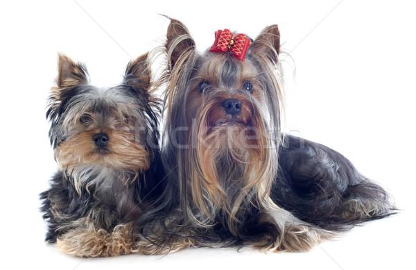 Yorkshire retrato cachorro adulto terrier Foto stock © cynoclub