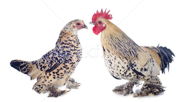 bantam rooster and chicken Stock photo © cynoclub